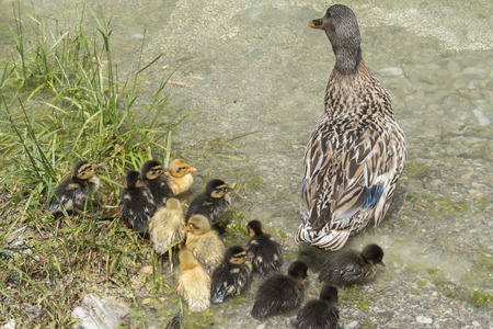 duck and duckling on lake 写真素材