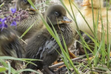 cute duckling at lake