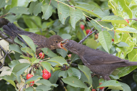 turdus merula common blackbird give food at her puppy