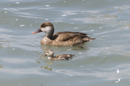 netta rufina, female Red crested Pochard and her puppy Stock fotó