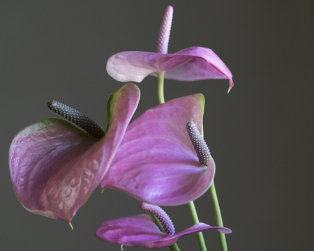 pink anthurium in the vase