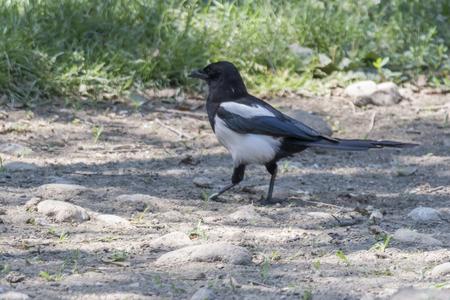 magpie bird in the field