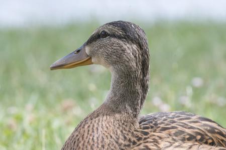 duck female on lake