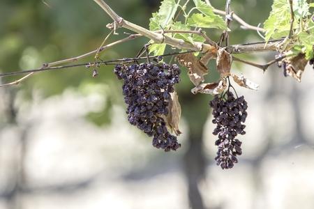dried grape on vineyard in summer