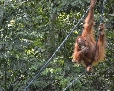 Orangutango, Pongo pygmaeus in the jungle
