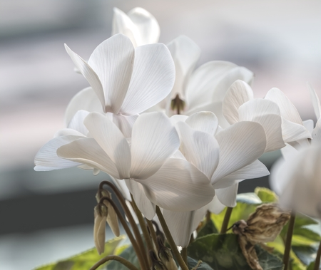 white cyclamen in bloom in spring