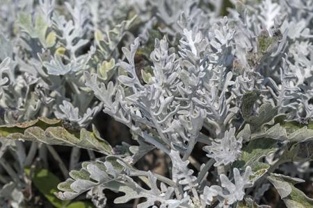 Artemisia absinthium, Absinthe leaves in the garden