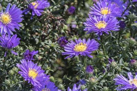 New York Aster flower, Symphyotrichum novi-belgii Imagens