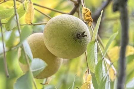 Juglans nigra  black walnut tree Фото со стока