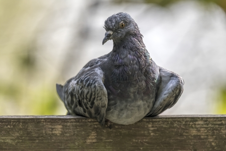 pigeon resting at park