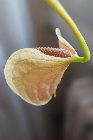 anthurium in the vase