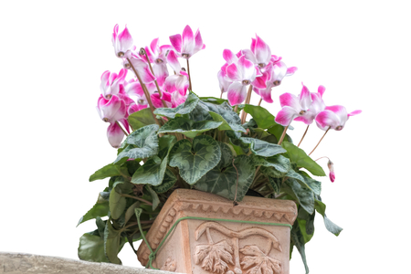 isolated pink cyclamen in the vase