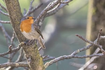 robin bird erithacus rubecula at park Stock Photo