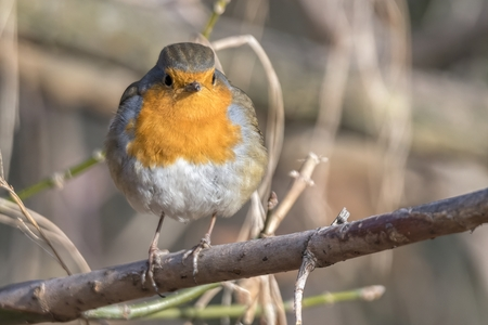 robin bird erithacus rubecula at park Stock Photo