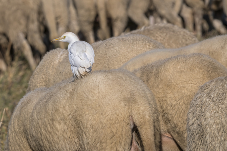 little egret on the sheep's rump