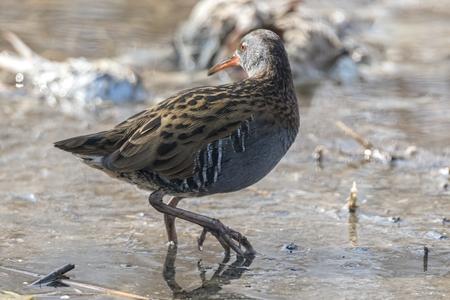 Water Rail bird, Rallus aquaticus eating dirt Stock Photo