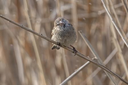 sparrow on reed at lake