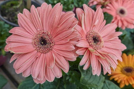 pink gerbera daisy in the vase