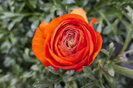 orange peonia flower in bloom in spring