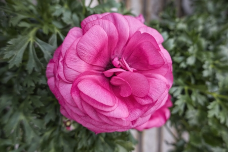 pink peonia flower in bloom in spring Foto de archivo