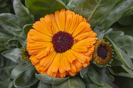 orange yellow gerbera daisy in the vase Imagens