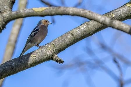 finch fringilla coelebs bird on tree Reklamní fotografie