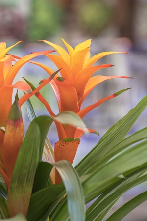 guzmania lingulata in the vase