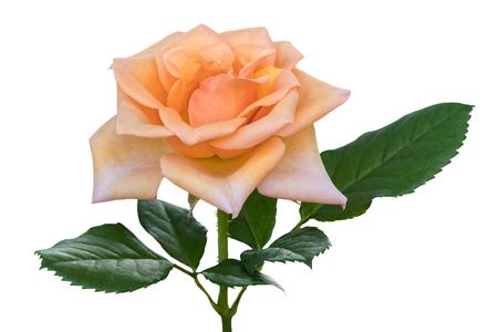isolated rose on white background Stock Photo