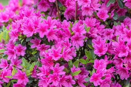 庭のピンクのツツジ
