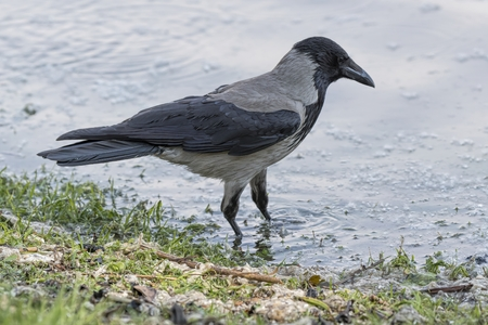 Crow Corvus cornix on lake Standard-Bild - 123776879