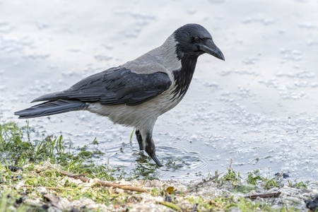 Crow Corvus cornix on lake Standard-Bild - 123776916