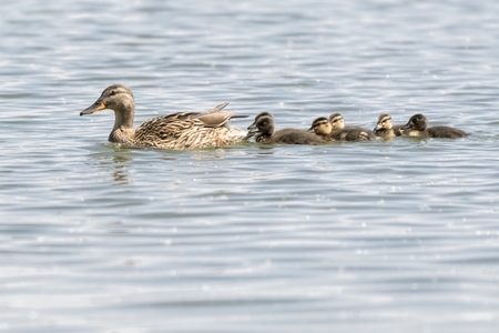duck and duckling on lake Standard-Bild - 123776921