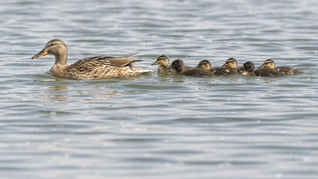 duck and duckling on lake Standard-Bild - 123776922