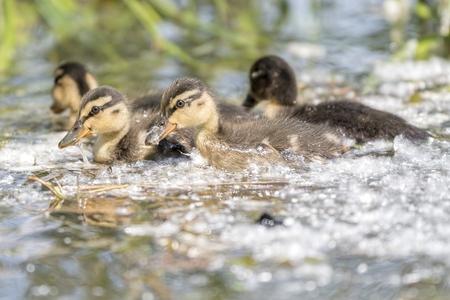 a cute duckling on lake Standard-Bild - 123776925