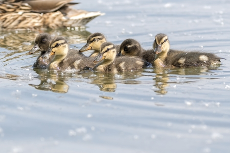 a cute duckling on lake Standard-Bild - 123776930