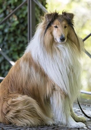 cute border collie dog at park Standard-Bild - 123776933