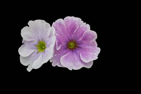 isolated petunia flower on background Standard-Bild - 123776950