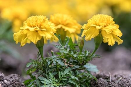 yellow tagete flower  in the garden Standard-Bild - 124764476
