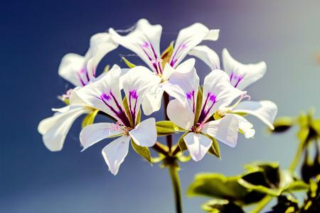 geranium in bloom in the garden Standard-Bild - 124764630