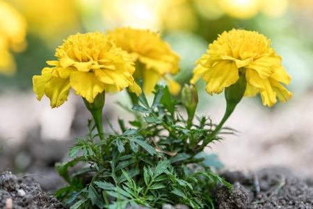 yellow tagete flower  in the garden Standard-Bild - 124764720