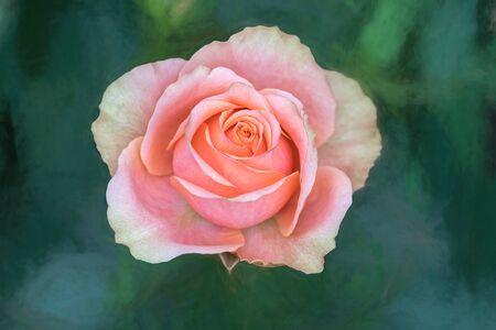 pink rose on texture backgroiund Standard-Bild - 124764541