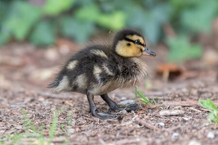 little duckling walking at lake Standard-Bild - 124764747