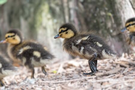 little duckling walking at lake Standard-Bild - 124764778
