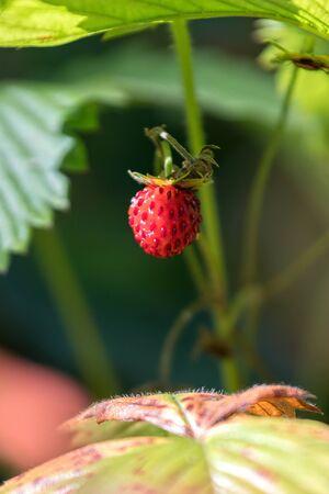 ripe strawberries in the garden Standard-Bild - 124764780