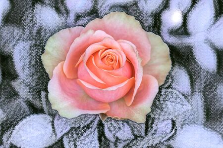 pink rose on texture backgroiund