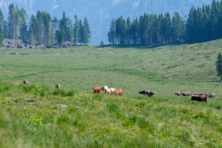 cow grazing in the mountain Stock Photo