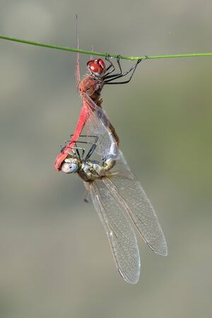two dragonfly on plant at lake