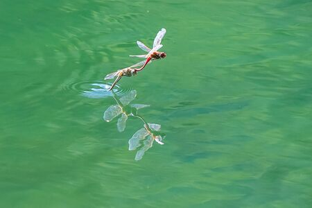 two dragonfly flying on lake