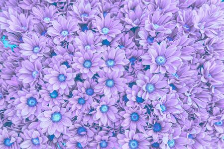 colorful daisy in bloom in spring Stock Photo