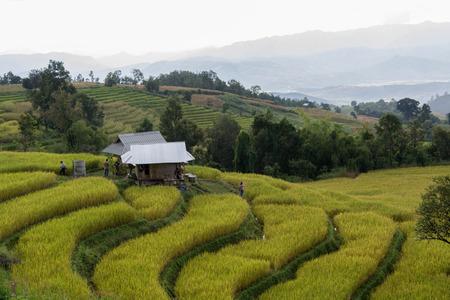 bong: Baan Pa Bong Piang rice terraced field close up, Chiangmai: Thailand.